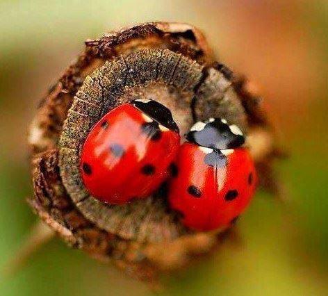 farmapest uğur böceği resimleri ile ilgili görsel sonucu