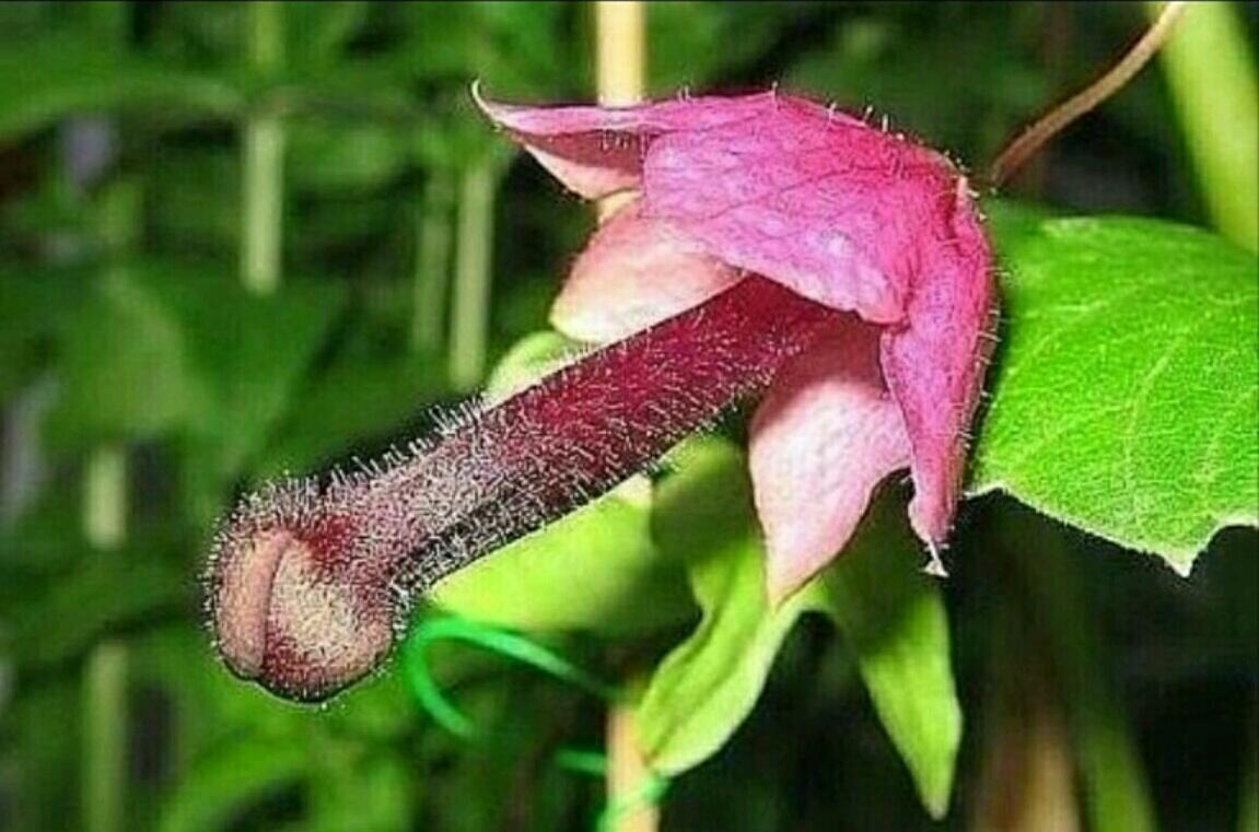 Цветок похожий на вагину 2 фотография